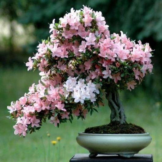 Bonsai de Azaleia de flores brancas e rosas
