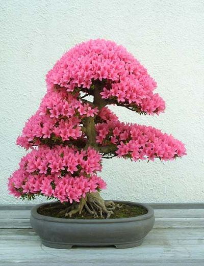 Bonsai de Azaleia de flores rosas