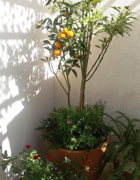 pé de laranja vaso