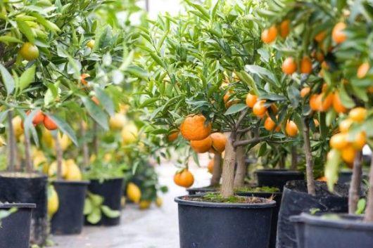 colheita frutas