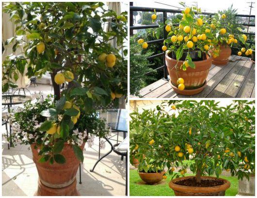 limão siciliano vaso