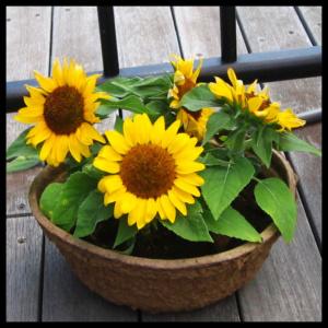 girassóis plantados em vasos