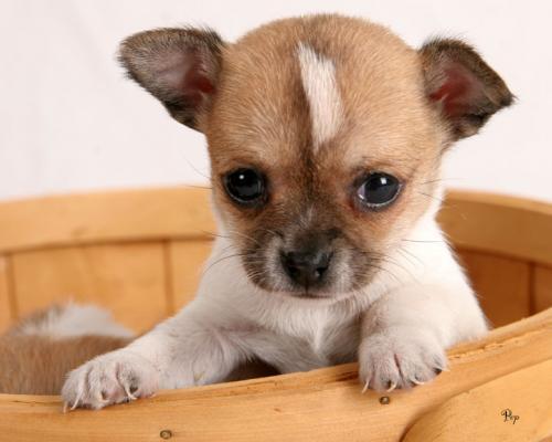 chihuahua cachorros para apartamento