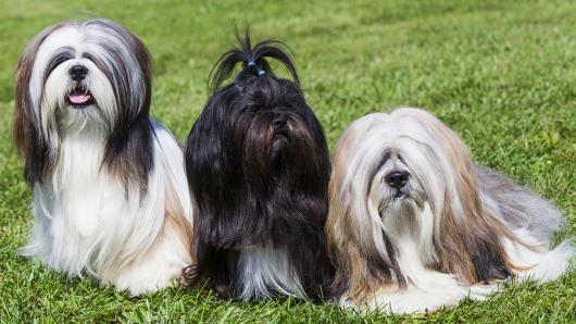 lhasa apso cachorros para apartamento