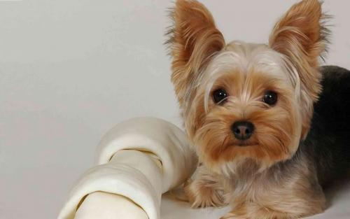 Yorkshire Terrier cachorros para apartamento