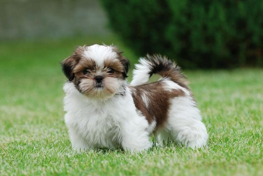 Shih Tzu cachorros para apartamento