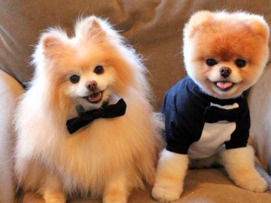 lulu da pomerânia cachorros para apartamento