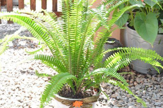 Samambaia plantada em vaso.