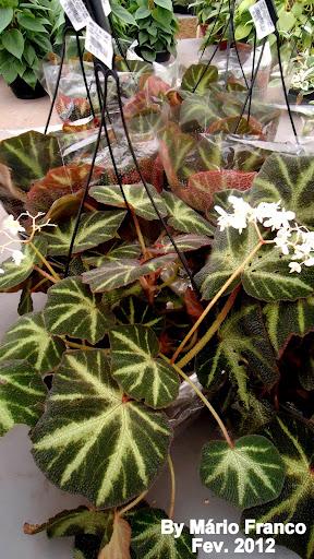 Folhagem de begônia verde escuro e claro e flores brancas.