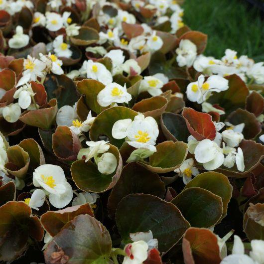 Begônia de flores brancas.