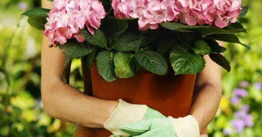 Pessoa segurando vaso de begônia com luvas de jardinagem.
