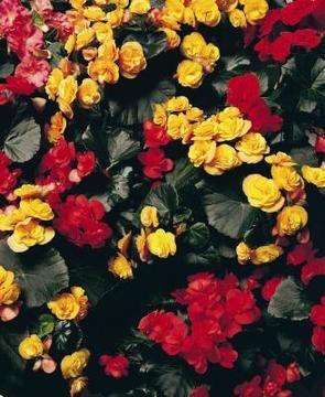 Begônias vermelhas e amarelas.