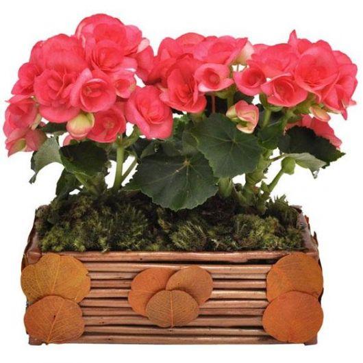 Vaso de madeira com begônia rosa.