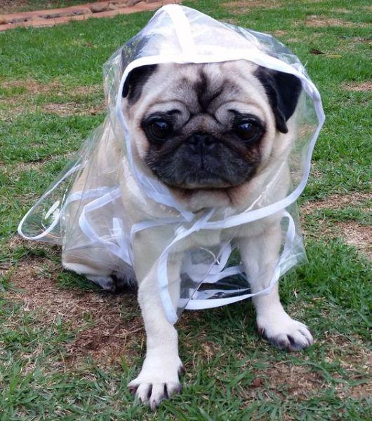 Cachorro pequeno sentado em um gramado vestindo uma capa de chuva transparente