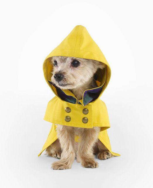 Cachorro visto de frente com uma capa de chuva amarela que contém quatro botões na parte frontal