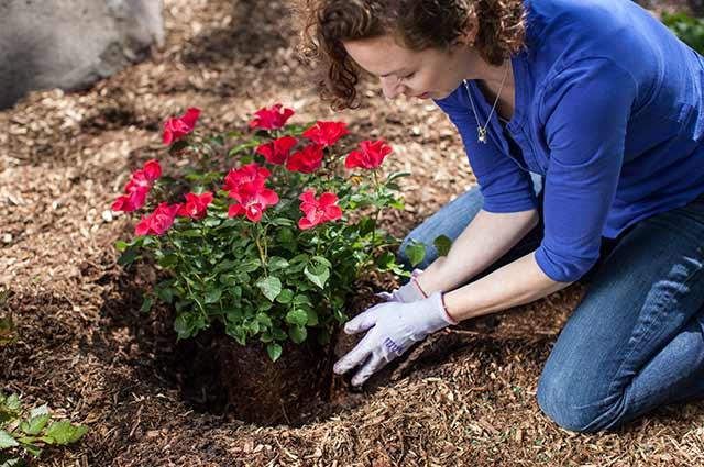 Como cuidar de rosas em jardim