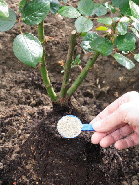 colocando substrato em muda de rosa