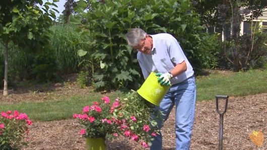 como plantar rosas em jardim passo a passo