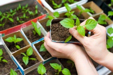 Mudas de plantas em caixas de leite.