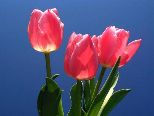 Imagem de três tulipas vistas de baixo para cima com um céu azul atrás