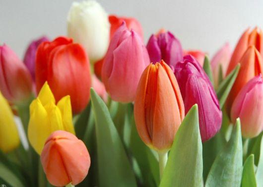 Foto com zoom em tulipas coloridas, cada uma com uma cor.