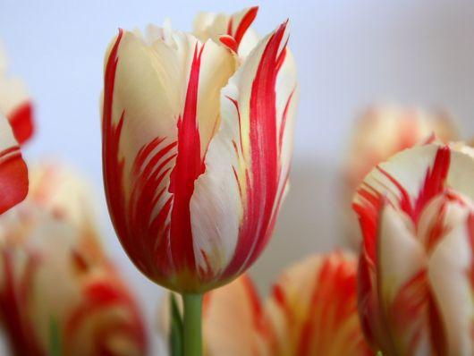 Foco em uma única tulipa que possui pétalas vermelhas e brancas