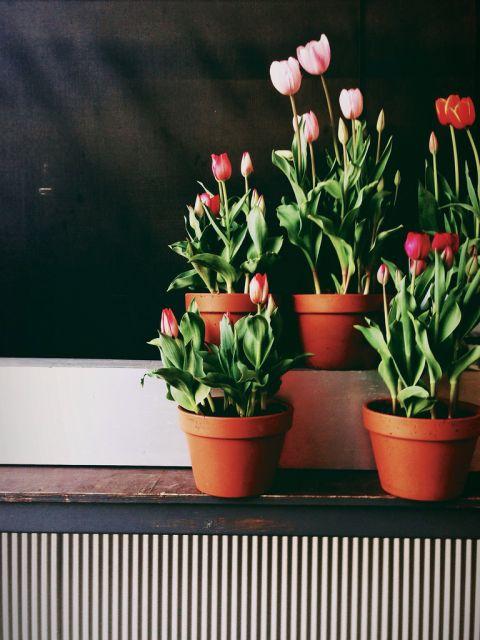 Quatro vasos simples de tulipa em um canteiro