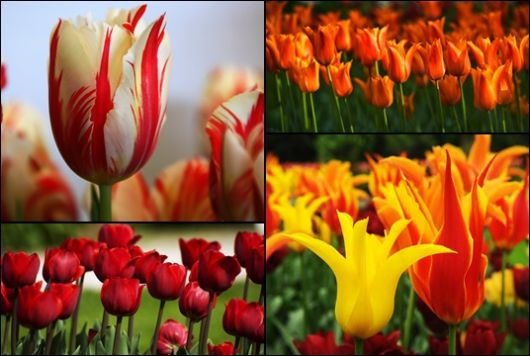 Montagem com quatro imagens de tulipas diferentes