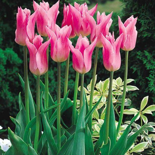 Tulipas rosas em um jardim florido