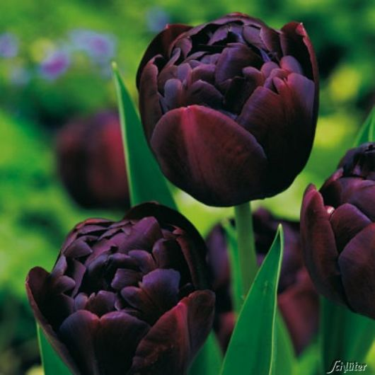 Três tulipas negras vistas de perto com o fundo desfocado