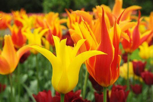 Jardim com muitas tulipas west point. As duas na frente estão em foco e as do fundo estão desfocadas.