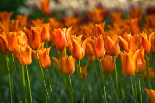 Jardim repleto de tulipas bailarinas. Elas são retas e a ponta possui flores alaranjadas.
