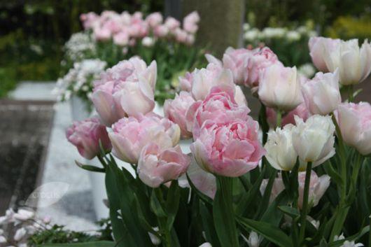Jardim com tulipas angélique. Elas possuem um aspecto delicado por causa do rosa desbotado.