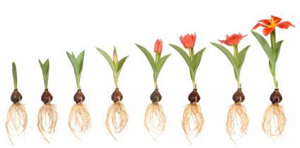 Tulipa se desenvolvendo passo a passo. Começa como um pequeno broto e termina em uma tulipa desenvolvida.