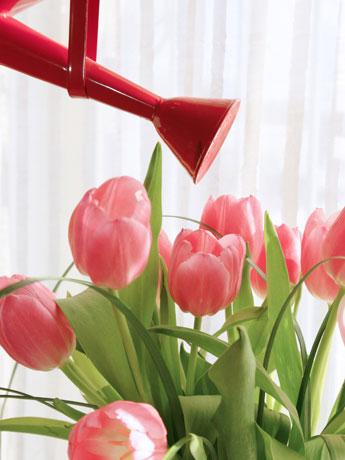 Tulipas rosas sendo regadas com um vaso.