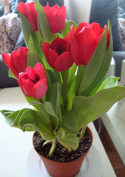 Tulipas vermelhas em um vaso com terra vistas de cima para baixo.
