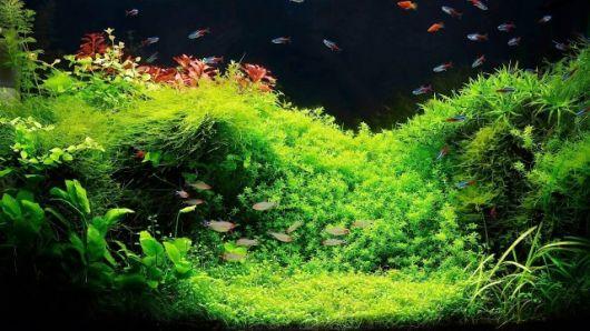 tipos de plantas para aquário de água doce