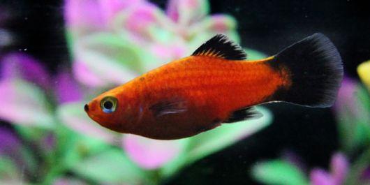escolhendo peixes para aquário de água doce