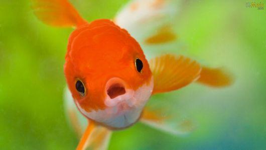 peixinho dourado para aquário de água doce