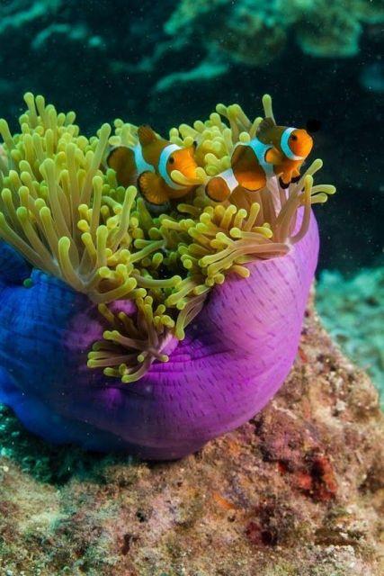 aquário marinho peixe palhaço
