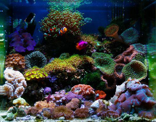 aquário marinho tipos de corais