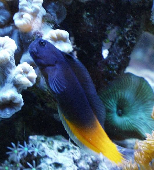 aquário marinho blenios