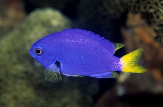 aquário marinho peixe donzela