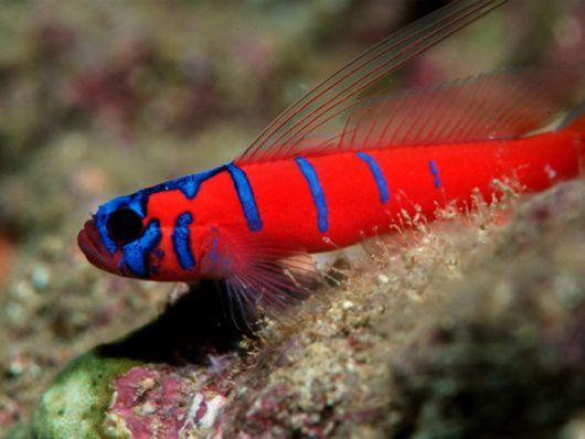 aquário marinho goby