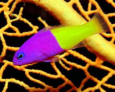 aquário marinho pseudochromis