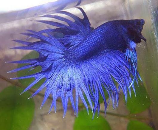 Peixe betta azul.