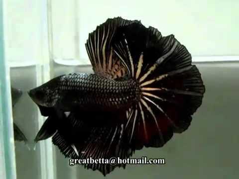 Peixe betta preto