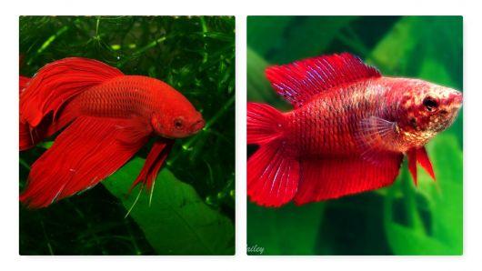 Peixe betta vermelho.