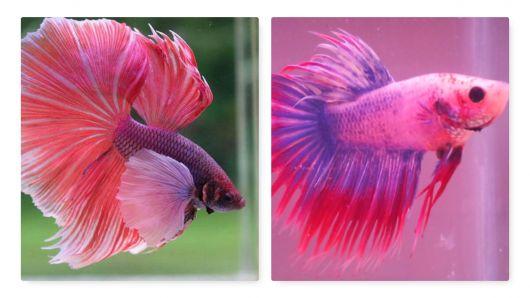 Peixe betta rosa.