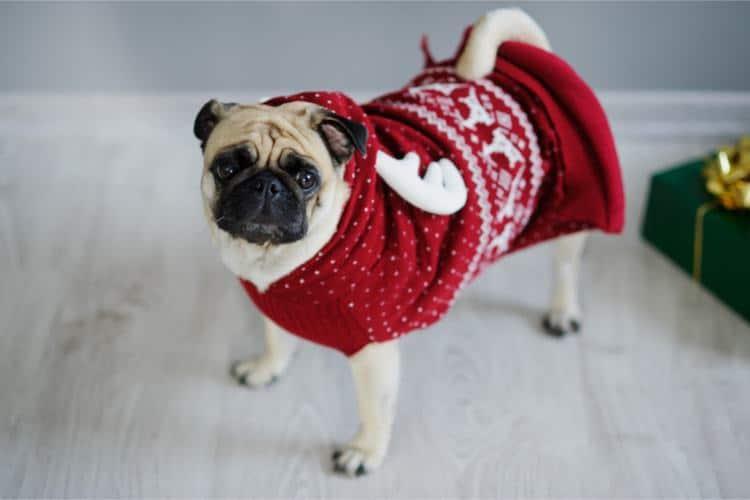 roupa de natal pug